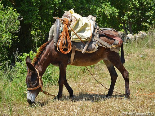 A loaded donkey at Seleucia. Photo by Ferrell Jenkins.